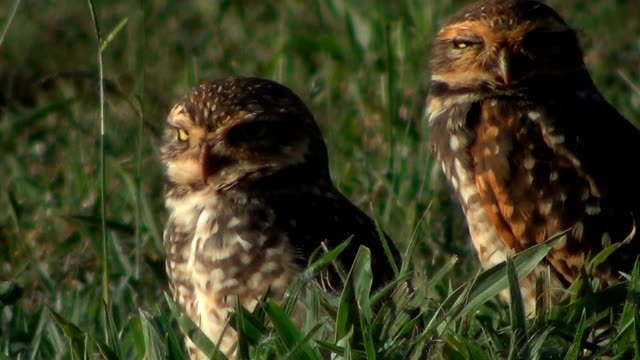 a pair of burrowing owl  (athene cunicularia) on the ground. - uccello rapace video stock e b–roll