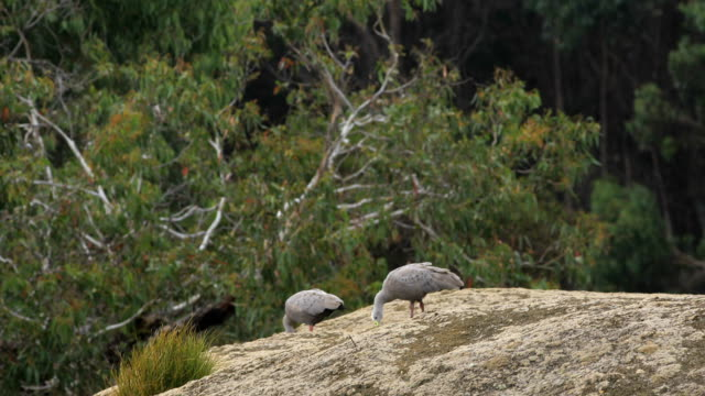 Pair of Cape Barren Goose, Cereopsis novaehollandiae