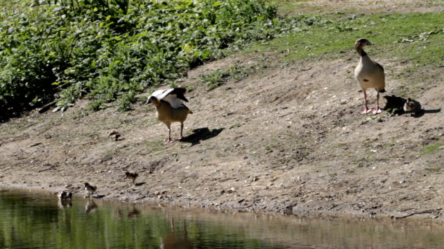 Five Egyptian goose goslings father chases butterfly HD video video