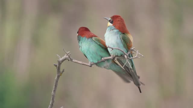 Pair of european bee-eaters landing on a twig in summer nature