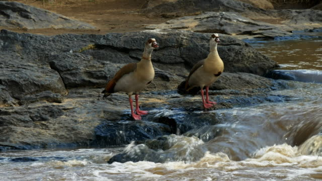 マサイマラ国立保護区、ケニアの eygptian ガチョウのペア - 野生動物旅行点の映像素材/bロール