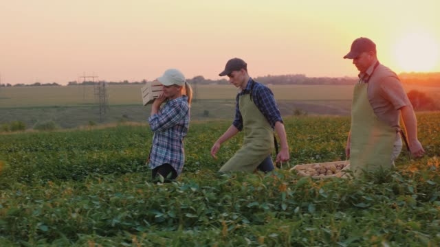 A pair of farmers with their son are carrying boxes of harvest across the field video