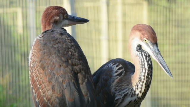 A pair of Goliath heron (Ardea goliath), also known as the giant heron close up looking around.