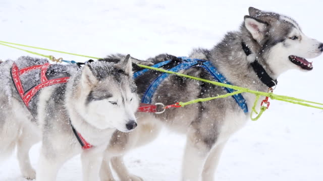 un paio di gestita da slitta con cani pronto per iniziare - malamute video stock e b–roll
