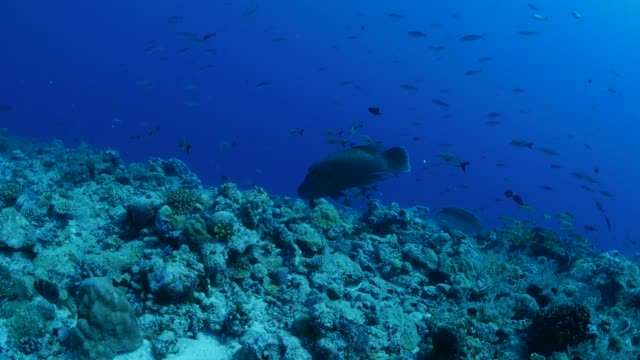 vídeos y material grabado en eventos de stock de par de arrecife de coral de pez (pez de napoleón), pez, palau - sea life park