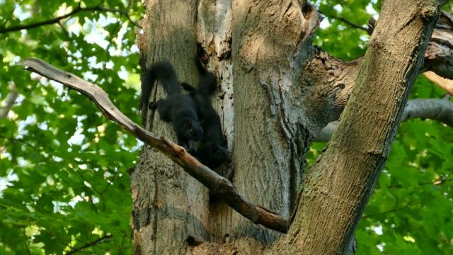 kuzey amerika'nın büyük siyah sincap çifti bir delikten ağaç yuvasına giriyor - kemirgen stok videoları ve detay görüntü çekimi