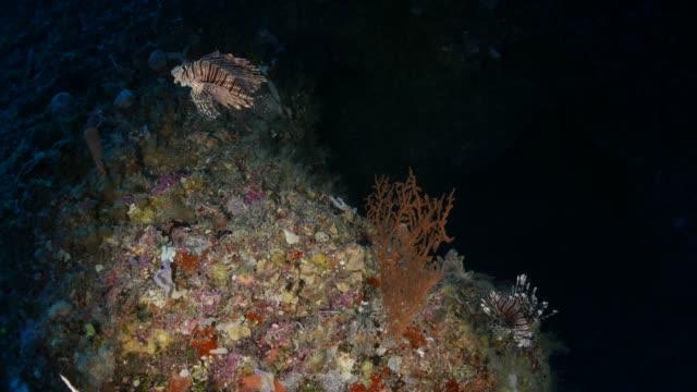 vídeos y material grabado en eventos de stock de par de pez león en cueva submarina - micronesia