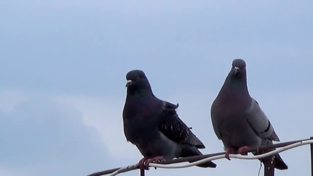 a pair of lovers doves on the edge of the house - due oggetti video stock e b–roll