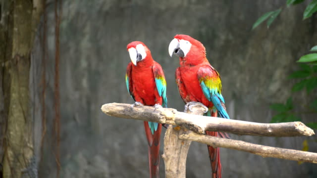 Pair of macaws perching on a branch video