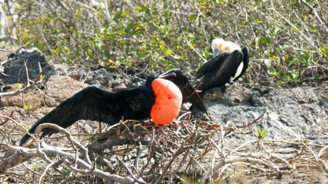 vídeos de stock, filmes e b-roll de par de fragatas magníficas na ilha genovesa nas galápagos - ilha genovesa