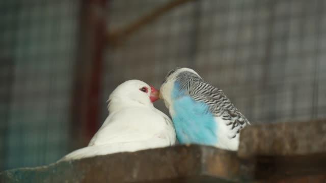 pair of parakeets flirting - kiss стоковые видео и кадры b-roll