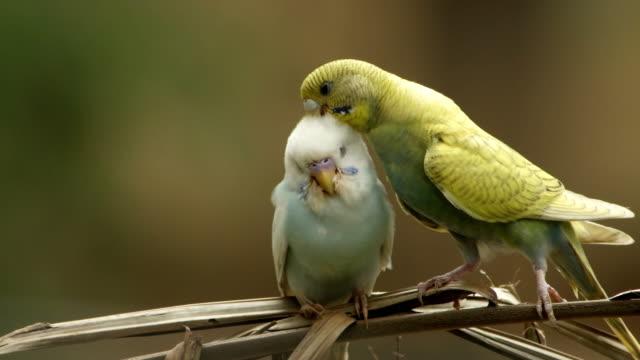 pair of parakeets - zachowanie zwierzęcia filmów i materiałów b-roll