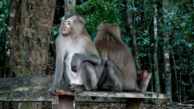 A pair of pig-tailed macaques video