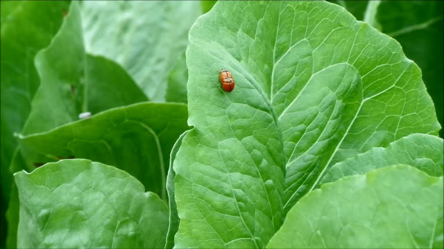 Pair of red ladybug walking while making love on vibrant green organic vegetable leaf video