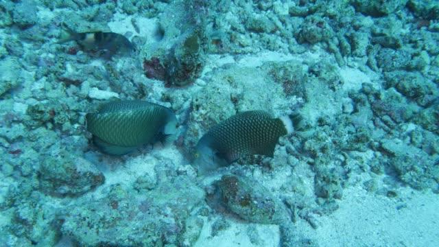 vídeos y material grabado en eventos de stock de par de lábridos de reno (rockmover) toma pequeñas piedras - sea life park