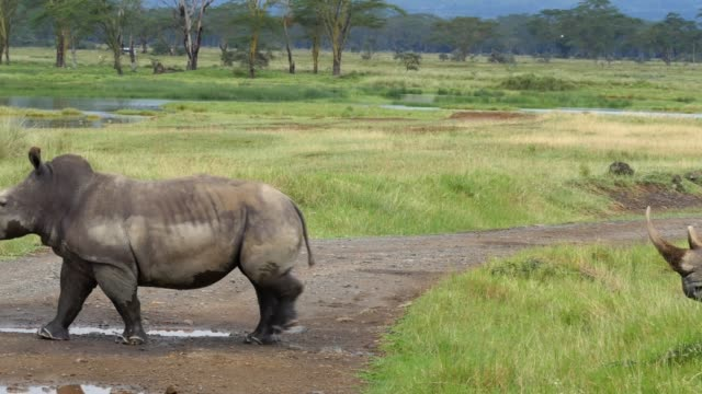 vídeos de stock e filmes b-roll de a pair of rhinos graze on grass in lake nakuru national park - quénia