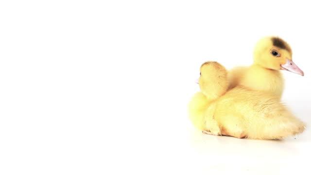 Pair of sitting squeaking ducklings