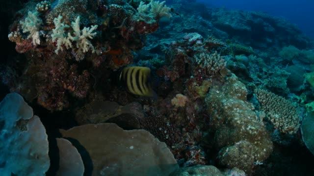 vídeos y material grabado en eventos de stock de par de pez ángel sixbar debajo de roca - sea life park
