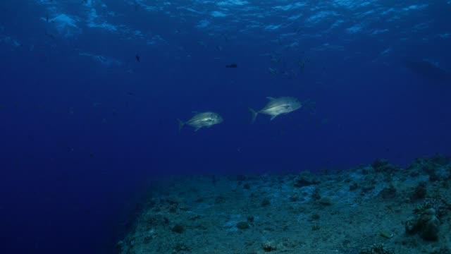vídeos y material grabado en eventos de stock de par de jureles pescados submarinos - micronesia