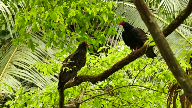 Pair of turkey vultures perched together in wild natural setup Pair of turkey vultures perched together in wild natural setup new world vulture stock videos & royalty-free footage