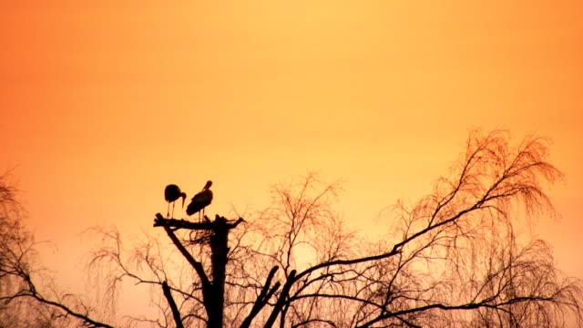 コウノトリのホワイトの夕暮れ - 2匹点の映像素材/bロール