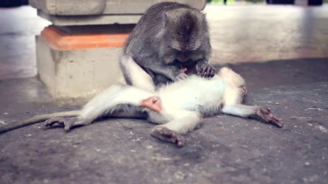 Pair Proboscis Monkeys mating sex animal video
