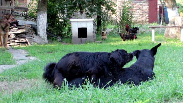 Couplage noir chiens - Vidéo