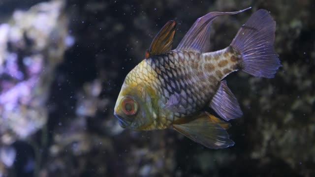 pajama cardinalfish video