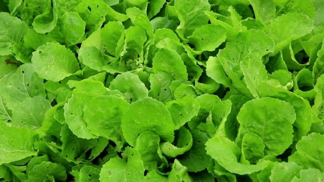 vídeos y material grabado en eventos de stock de pakchoy crecer en jardín de vegetales - pak choy