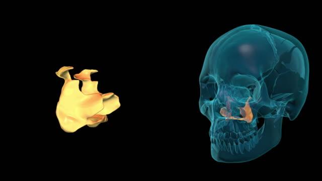 Palatine Bone video