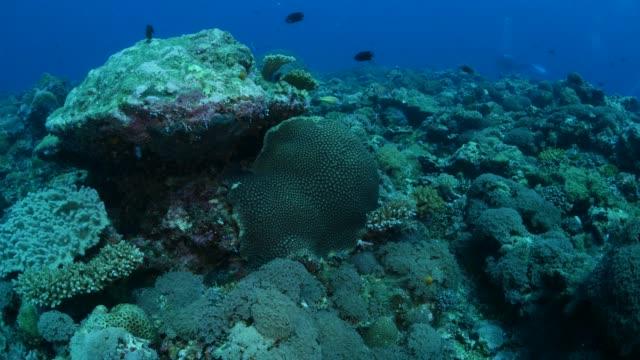 vídeos y material grabado en eventos de stock de arrecife de coral submarino de palau - zona pelágica