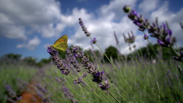 Pale clouded butterfly on lavender video