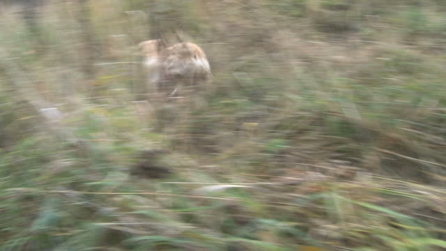 Pale Labrador Retriever purebred hunting dog finds and retrieves a pheasant from the high autumn grass. video