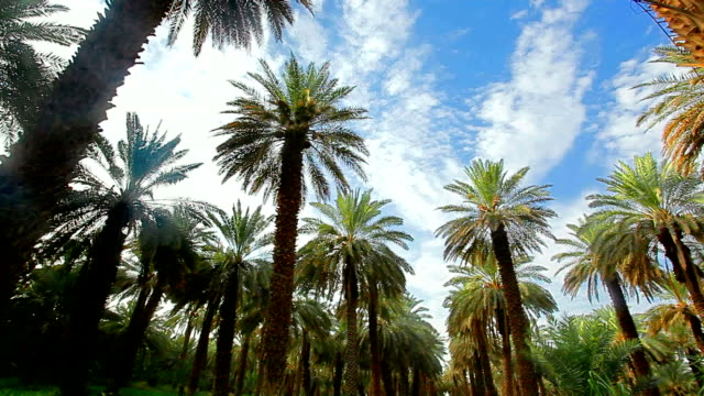 palm farm - arabia saudita video stock e b–roll