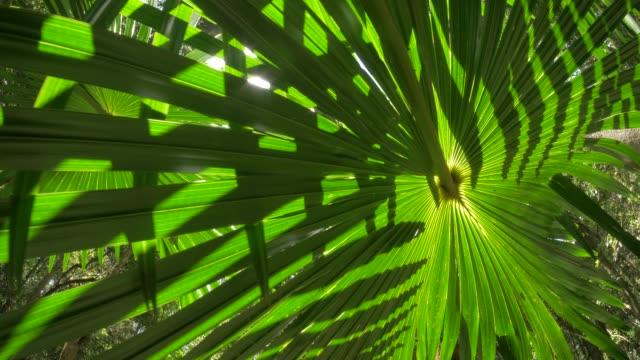palm fronda scenic jungle rainforest naturliga ekosystem filmisk dolly shot - eucalyptus leaves bildbanksvideor och videomaterial från bakom kulisserna