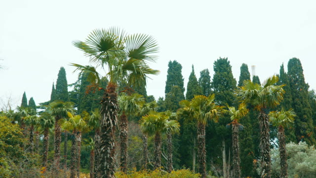 Palm grove of cypress trees in the background