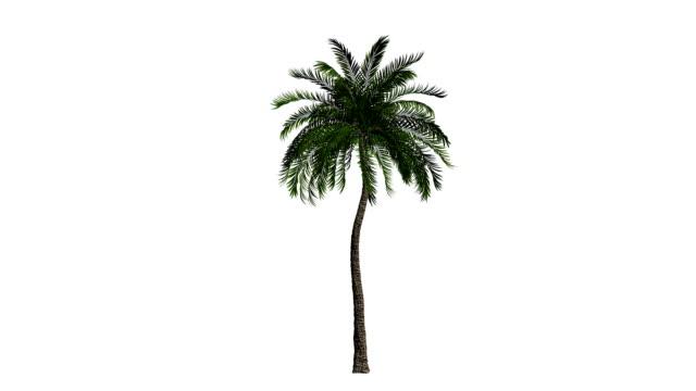 palmiye rüzgarda esen izole, beyaz karşı - cut out stok videoları ve detay görüntü çekimi
