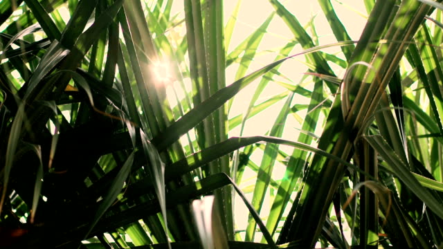 Palm leaves with sun shining through and lens flares video