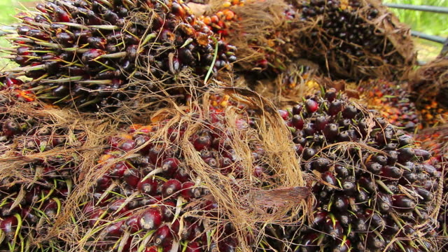 Palm Oil Fruit video