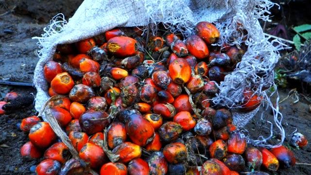 vídeos de stock e filmes b-roll de palm oil fruits - oleo palma