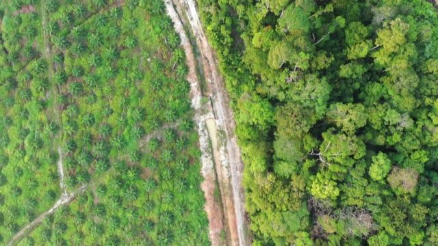 vidéos et rushes de plantation d'huile de palme au bord de la forêt tropicale - plantation
