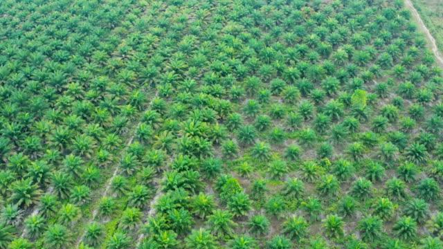vídeos de stock, filmes e b-roll de plantação do óleo de palma no console de bornéu em indonésia - plantação