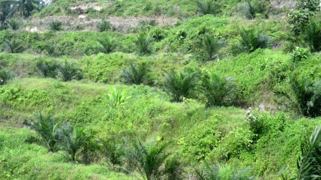 palm oil plantation  - tropischer baum stock-videos und b-roll-filmmaterial