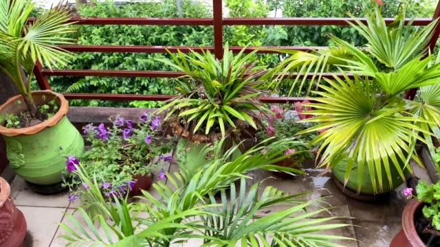 palm plants in earthen pots in rain Table Palm, bottle palm etc are placed on terrace of a house in rain. flower pot stock videos & royalty-free footage