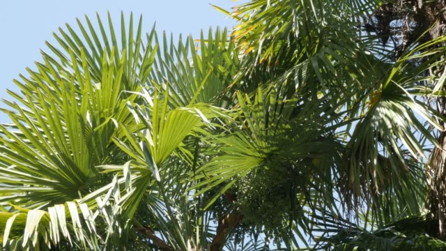 palmiye ağacı rüzgarda yeşil tropikal yaprakları - el aleti stok videoları ve detay görüntü çekimi