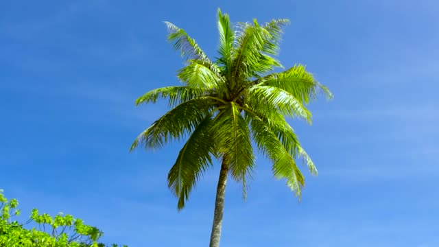 palm tree over blue sky summer and exotic nature concept - palm tree over blue sky oceania stock videos & royalty-free footage