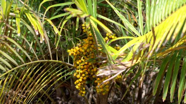 vídeos de stock e filmes b-roll de palm tree seeds in 4k slow motion 60fps - oleo palma