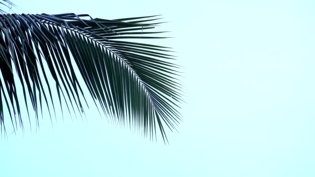 Palm tree tops Palm tree tops coconut palm tree stock videos & royalty-free footage