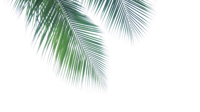 Palm tree tops