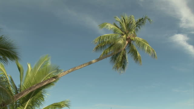 Palm Tree Palm Tree - Shot on Sony HDRFX1e Broadcast Quality Camera indian ocean islands stock videos & royalty-free footage